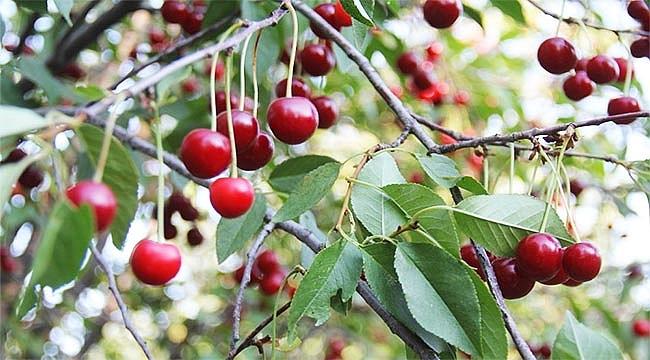 40 ton vişne ağaç dallarında çürüyor