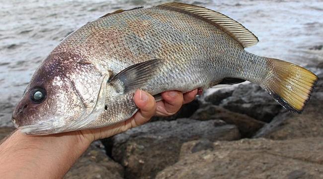 Bu balığın kulakları  etinden daha değerli!