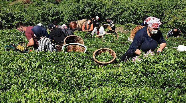 Ordu'da imece usulü çay hasadı