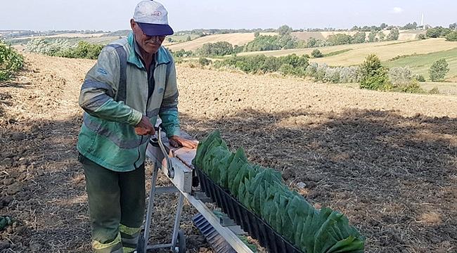 Bafra Ovası'nda tütün kırımına başlandı