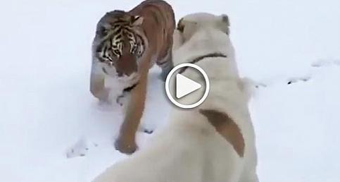 Türkmen çoban köpeği kaplana karşı!