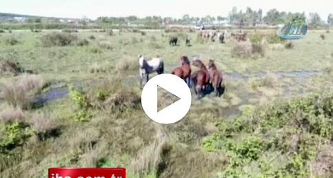 Drone gören atların şaşkınlığı